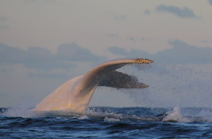 Migaloo, Whale Watching